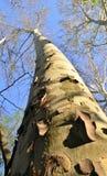 Árbol de abedul en el tiempo de primavera Imágenes de archivo libres de regalías