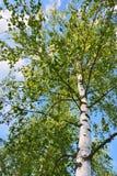 Árbol de abedul en el verano Fotos de archivo libres de regalías