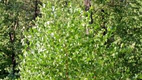 Árbol de abedul en el viento almacen de video