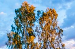 Árbol de abedul en el viento, cielo azul Imagenes de archivo