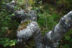 Árbol de abedul en el viento en el paisaje de la montaña del verano de polar con referencia a Foto de archivo