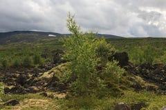 Árbol de abedul en el viento en paisaje de la montaña del verano del registro polar Foto de archivo