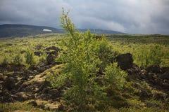 Árbol de abedul en el viento en paisaje de la montaña del verano del registro polar Fotos de archivo libres de regalías