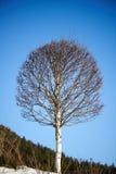 Árbol de abedul en fondo del cielo azul en el invierno Fotos de archivo libres de regalías