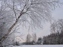 Árbol de abedul en helada, Lituania Imagen de archivo libre de regalías