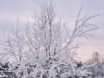 Árbol de abedul en helada, Lituania Fotografía de archivo libre de regalías