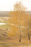 Árbol de abedul en hojas del amarillo en otoño Foto de archivo libre de regalías