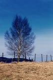 Árbol de abedul en invierno imagen de archivo