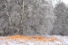 Árbol de abedul en invierno Foto de archivo