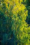 Árbol de abedul en la luz del sol Foto de archivo libre de regalías