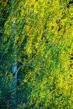 Árbol de abedul en la luz del sol Foto de archivo