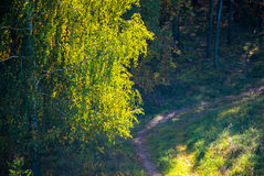 Árbol de abedul en la luz del sol y la trayectoria en bosque Foto de archivo libre de regalías