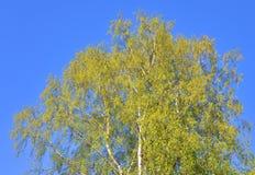 Árbol de abedul en la primavera Foto de archivo