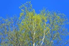 Árbol de abedul en la primavera Fotos de archivo libres de regalías