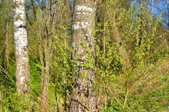 Árbol de abedul en la primavera Fotografía de archivo
