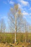 Árbol de abedul en la primavera Imágenes de archivo libres de regalías