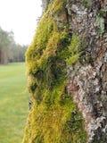 Árbol de abedul en la primavera cubierta en el lado del oeste del revestimiento con el musgo grueso Imagen de archivo