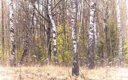 Árbol de abedul en la primavera temprana (Betula) Fotos de archivo libres de regalías