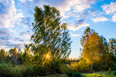 Árbol de abedul en la puesta del sol Fotografía de archivo libre de regalías