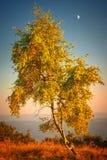 Árbol de abedul en la puesta del sol del otoño Imagen de archivo libre de regalías