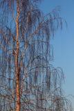 Árbol de abedul en luz de la puesta del sol Fotografía de archivo