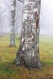 Árbol de abedul en niebla Fotografía de archivo