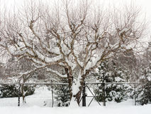 Árbol de abedul en nieve Imagen de archivo