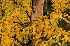 Árbol de abedul en otoño Fotos de archivo libres de regalías