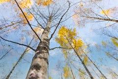 Árbol de abedul en otoño Foto de archivo