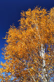 Árbol de abedul en otoño Imagen de archivo