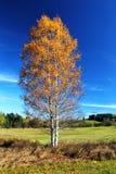 Árbol de abedul en otoño Foto de archivo libre de regalías