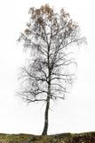 Árbol de abedul en otoño Imagen de archivo libre de regalías