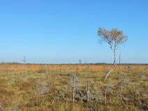 Árbol de abedul en pantano Fotografía de archivo