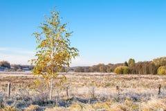 Árbol de abedul en prado escarchado del otoño Fotografía de archivo libre de regalías