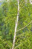 Árbol de abedul en primavera Imágenes de archivo libres de regalías