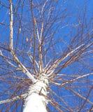 Árbol de abedul en primavera Fotos de archivo libres de regalías