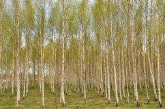 Árbol de abedul en primavera Fotografía de archivo