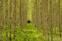 Árbol de abedul en primavera Foto de archivo libre de regalías