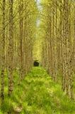 Árbol de abedul en primavera Imagenes de archivo