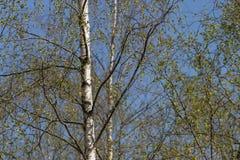 Árbol de abedul en primavera Imagen de archivo libre de regalías