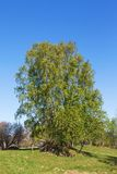 Árbol de abedul en primavera Fotos de archivo
