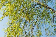 Árbol de abedul en primavera temprana Foto de archivo libre de regalías