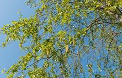 Árbol de abedul en primavera temprana Fotos de archivo libres de regalías