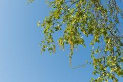 Árbol de abedul en primavera temprana Imagen de archivo
