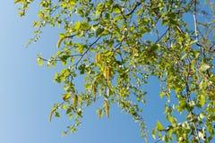 Árbol de abedul en primavera temprana Fotografía de archivo libre de regalías
