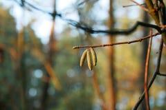 Árbol de abedul en primer del bosque Fotos de archivo