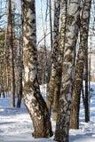 Árbol de abedul en un bosque nevoso Imagenes de archivo