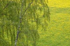 Árbol de abedul en un campo del diente de león Fotografía de archivo libre de regalías