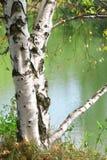 Árbol de abedul en un lago Fotos de archivo