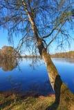 Árbol de abedul en un lago Fotos de archivo libres de regalías